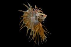 Glod Crowntail Betta fisk Arkivbild