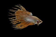 Glod Crowntail Betta fisk Arkivfoto