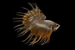Glod Crowntail Betta fisk Royaltyfria Bilder