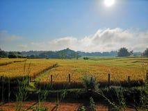 Gloden米领域早晨 库存图片