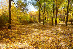 The gloden fallen leaves scenery Royalty Free Stock Images