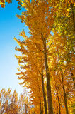 The gloden leaves and blue sky Stock Photo