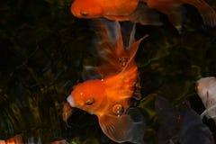 Glodfish zdjęcie royalty free