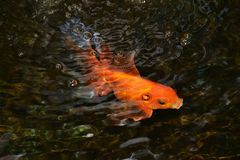 Glodfish fotografia royalty free