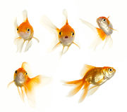 Glodfish collection Stock Photos