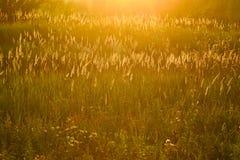 Gloeiend gras met zonsonderganglicht Stock Fotografie