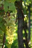 Gloeiende druiven stock afbeelding