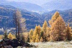 Gloeiende lariksbomen royalty-vrije stock fotografie