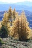 Gloeiende lariksbomen stock afbeeldingen