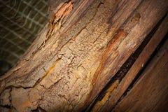 Gloeophyllum abietinum attack on spruce rafter stock photos