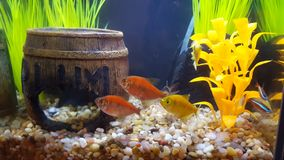 Glofish, δεξαμενή ψαριών Στοκ φωτογραφία με δικαίωμα ελεύθερης χρήσης