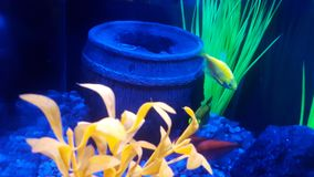 Glofish, fish tank. Glofish under neon light, fish tank royalty free stock images