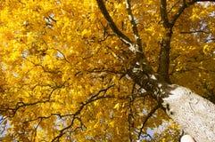 Gloire d'hickory Photographie stock libre de droits