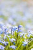 Gloire-de-le-neige bleue de fleurs de ressort Photo libre de droits