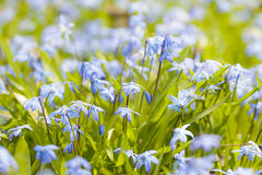 Gloire-de-le-neige bleue de fleurs de ressort Image stock
