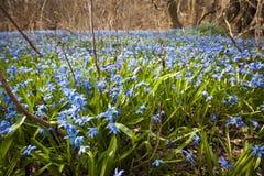 Gloire-de-le-neige bleue de fleurs de ressort image libre de droits