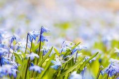 Gloire-de-le-neige bleue de fleurs de ressort Photographie stock