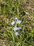 Gloire-de-le-neige du ` s de Lucile, luciliae de chionodoxa, fleurissant au printemps, macro, DOF peu profond, foyer sélectif Photographie stock libre de droits