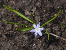 Gloire-de-le-neige du ` s de Lucile, luciliae de chionodoxa, fleurissant au printemps, macro, DOF peu profond, foyer sélectif Photo libre de droits