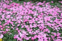 gloire de matin annuelle, belles photos d'une nature photographie stock