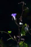 Gloire de matin bleue Photo libre de droits