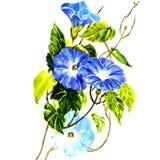 Gloire de matin de bleu de ciel d'isolement illustration stock