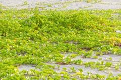 Gloire de matin de bonbon ou de plage à siège potentiel d'explosion-caprae d'Ipomoea photos libres de droits