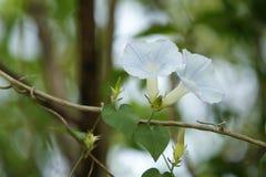 Gloire de matin de fleur. Image libre de droits