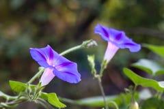 Gloire de matin et x28 ; Ipomoea& x29 ; fleur Images libres de droits