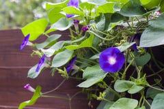 Gloire de matin et x28 ; Ipomoea& x29 ; fleurs Photographie stock