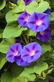 Gloire de matin et x28 ; Ipomoea& x29 ; fleurs Photos stock