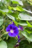 Gloire de matin et x28 ; Ipomoea& x29 ; plan rapproché de fleur Image libre de droits