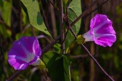 Gloire de matin fleurissant dans les bois photo libre de droits