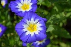 Gloire de matin fleurissante blanche et jaune bleue étonnante Image libre de droits