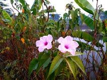 Gloire de matin rose photographie stock