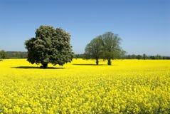 Gloire jaune Image libre de droits
