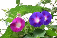 Gloires de matin bleues et rouges dans le lit de fleur Images stock