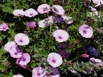 Gloires de matin en fleur en début de l'été photographie stock