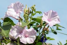 Gloires de matin fleurissant contre les cieux bleus Image stock