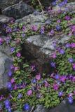 Gloires de matin sur la roche volcanique photos stock