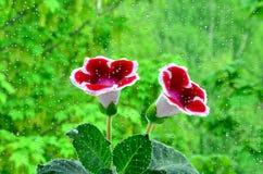 Gloksynia kwiat Obrazy Stock