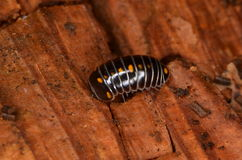 Glomeris pustulata. Millipede Glomeris pustulata in nature Royalty Free Stock Images
