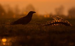 Gloomy Common Raven sits near a skeleton of dead animal in dark evening royalty free stock images