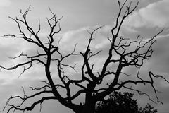 Gloomy dead tree. A gloomy bare oak tree with crows flying around Stock Photos