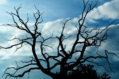 Gloomy dead tree. A gloomy bare oak tree Royalty Free Stock Photo
