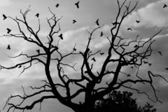 Gloomy dead tree, crows. A gloomy bare oak tree with crows flying around Royalty Free Stock Photography
