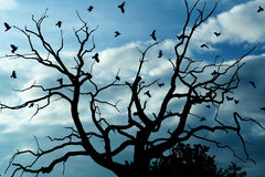 Gloomy dead tree, crows. A gloomy bare oak tree with crows flying around Stock Photos