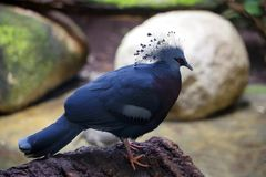 Gloomy dove in Barcelona Zoo stock image