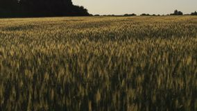 Gloomy field in documentary style, hard times, poor harvest, food crisis, famine