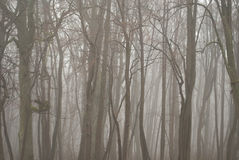 Gloomy fog in a bare forest Royalty Free Stock Photos